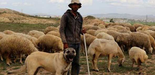 Türkischer Hirtenhund Kangal
