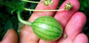Türkische Wassermelone